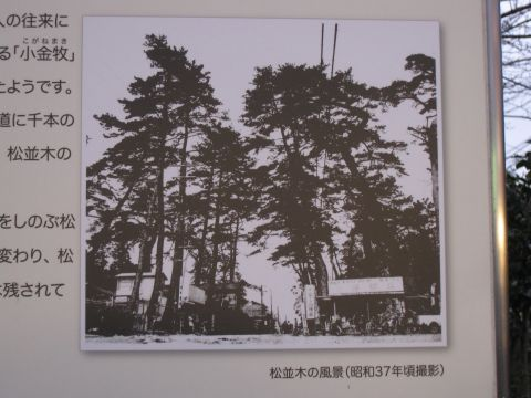 水戸街道の松並木