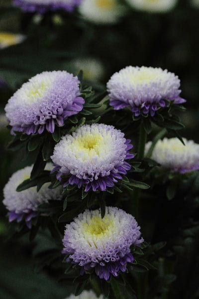 花き研究指導室 菊 130830 009