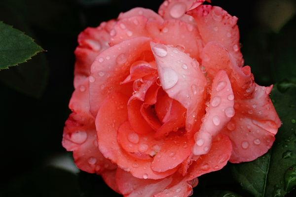 花き研究指導室 バラ 130830 013