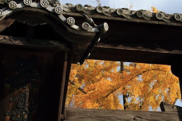 築島神社銀杏紅葉 131122 08