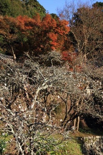 惣河内神社冬桜 131123 01
