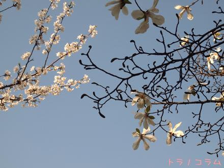 桜はバラ科で木蓮は何科だろう?