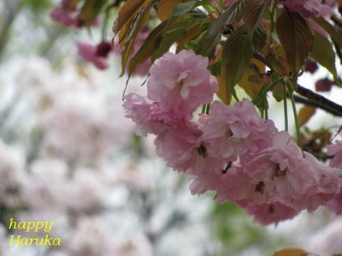2、桜、妹背
