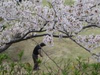18番ホールの桜