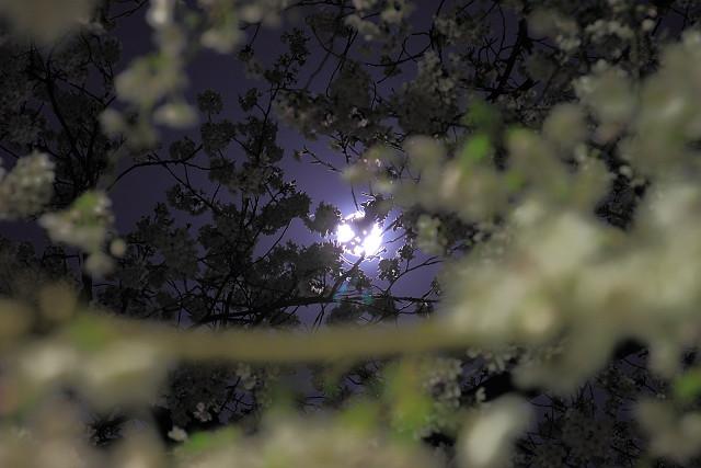 近所の桜001