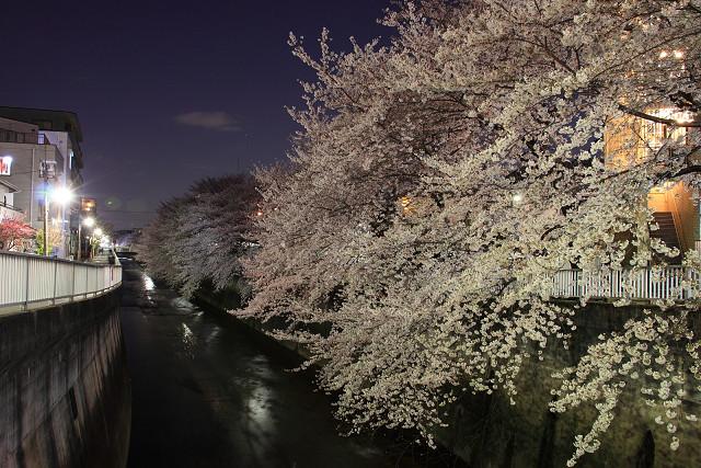 近所の桜003