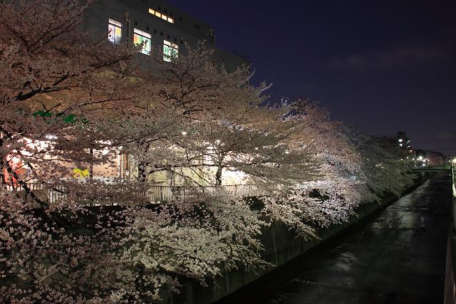 近所の桜002