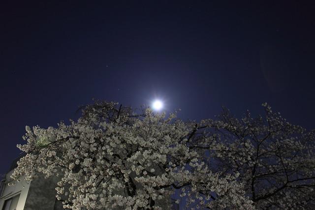 近所の桜004