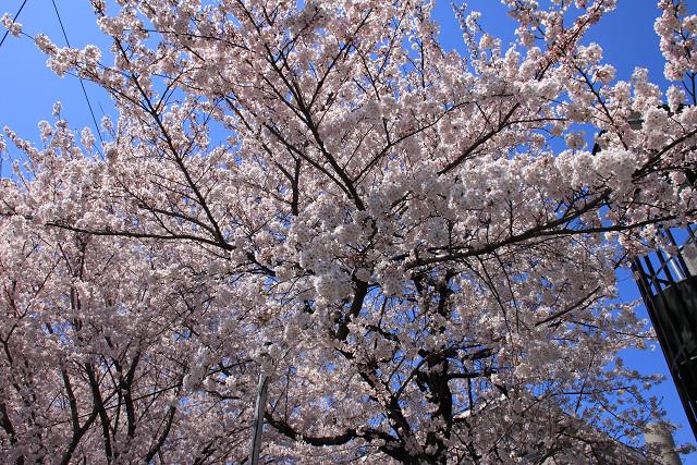 近所の桜006