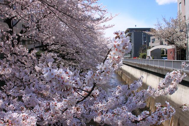 近所の桜007