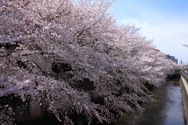 近所の桜008