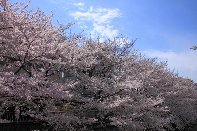 近所の桜009
