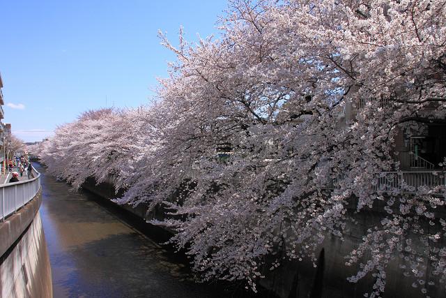 近所の桜010