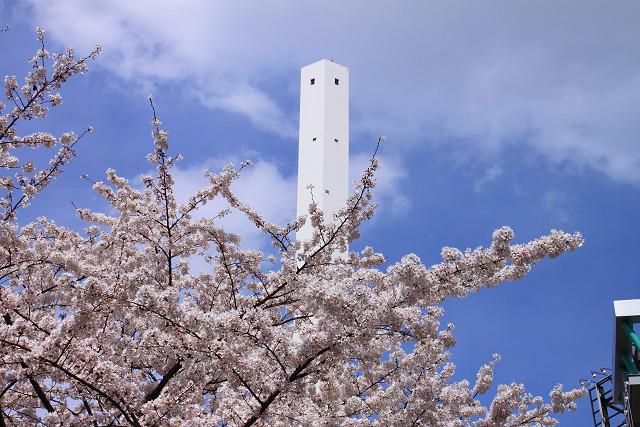 近所の桜011