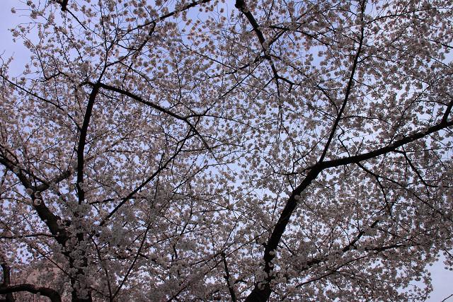 近所の桜013