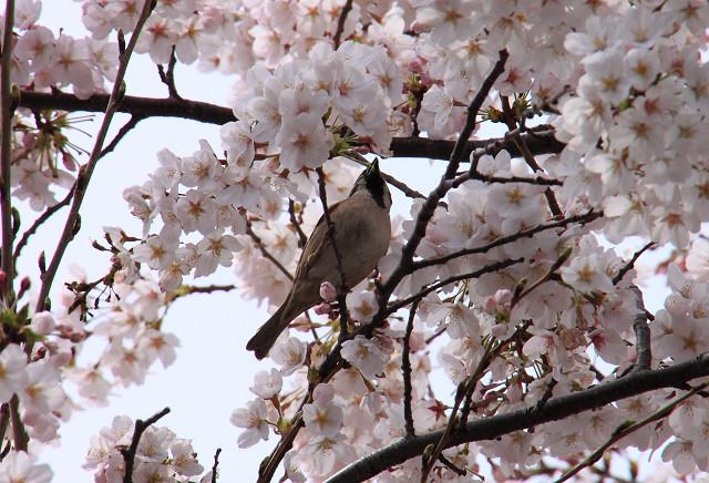 近所の桜014