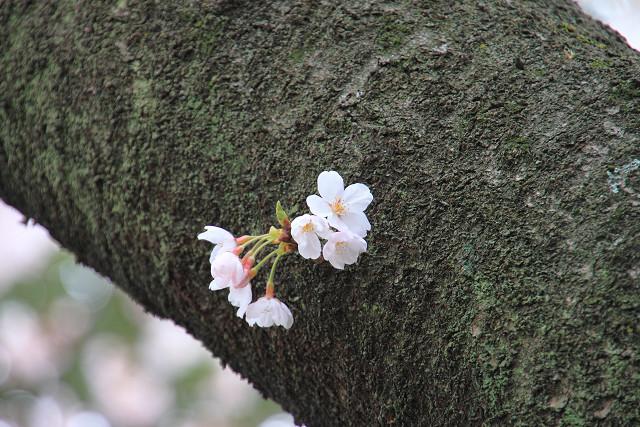 近所の桜012