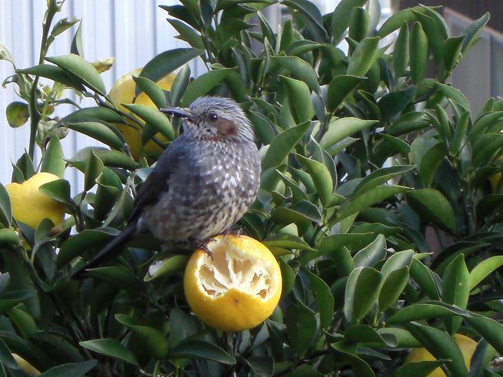 野鳥 小夏を食す