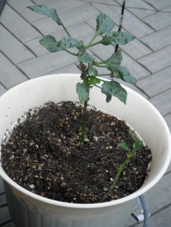 トウガラシ1鉢