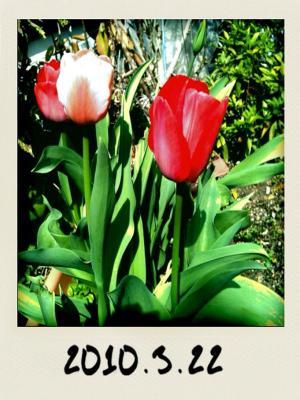 tulip_convert_20100322160614.jpg
