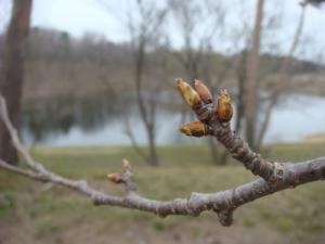 3月15日の桜