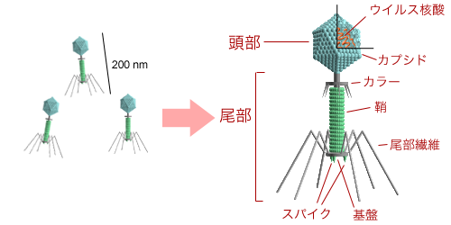 Bacteriophage_structure_ja.png