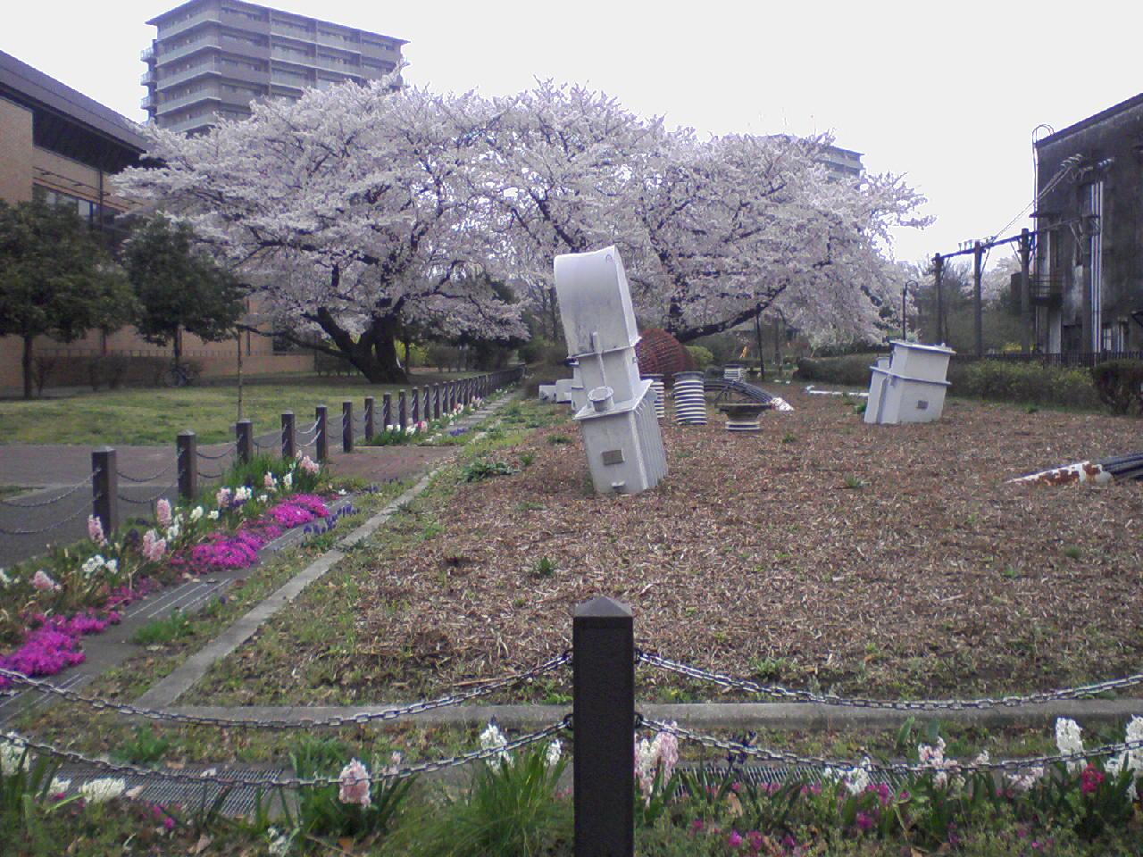 東大和南公園桜