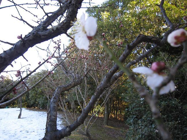 ブレブレ写真ですが・・・梅が咲いてます。