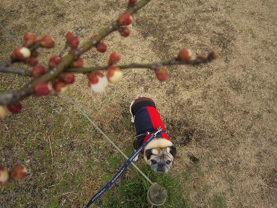 梅が咲いたよ!