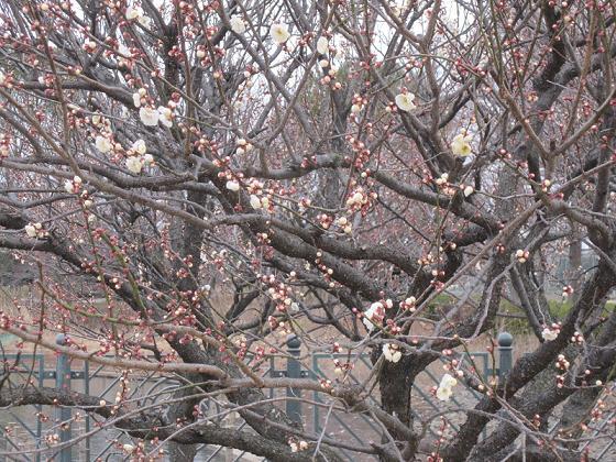 梅はまだ3分咲き?
