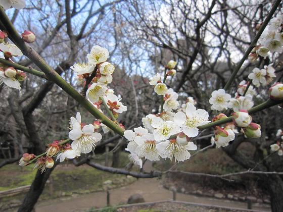 品川水族館の梅林の梅