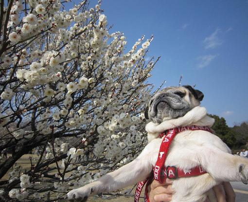 これは、日曜日のチッチ君。梅が満開~