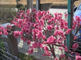 愛子様生誕記念植樹の梅の花