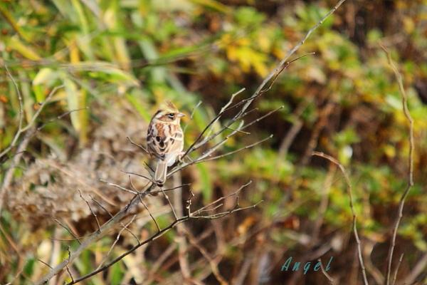 ミヤマホオジロ♀(61)