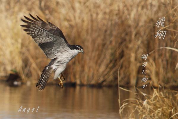 オオタカ(48536)①年賀