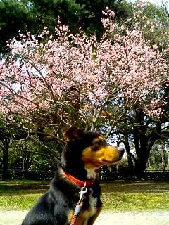 ポチと梅の花