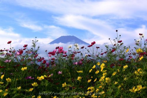 富士山とコスモス