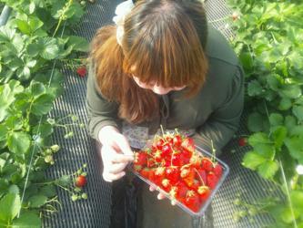 摘みたてイチゴ