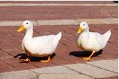 img_duck1[1]