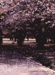 1.桜-01Pt