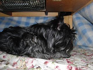 コタツ犬2