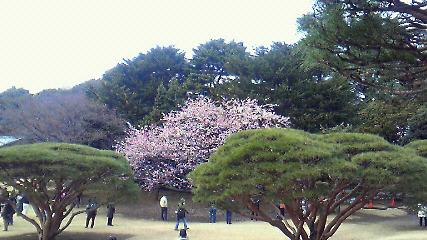 寒桜(ピンク)