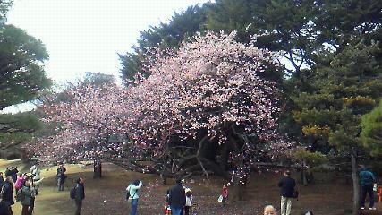 寒桜(ピンク1)