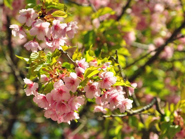 河津七滝の桜