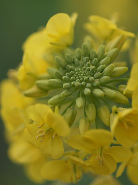 苦手の菜の花