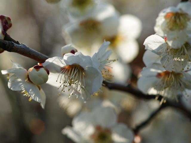 梅、咲き始める