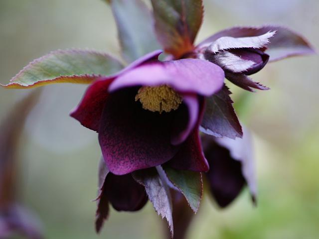 赤紫のxmasrose