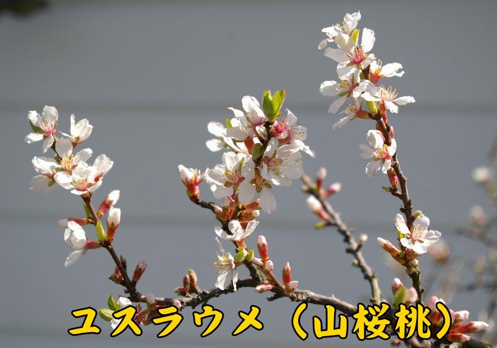 3yusuraume0316c1.jpg