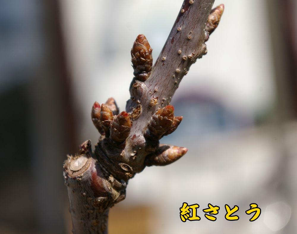 benisato0319c1.jpg