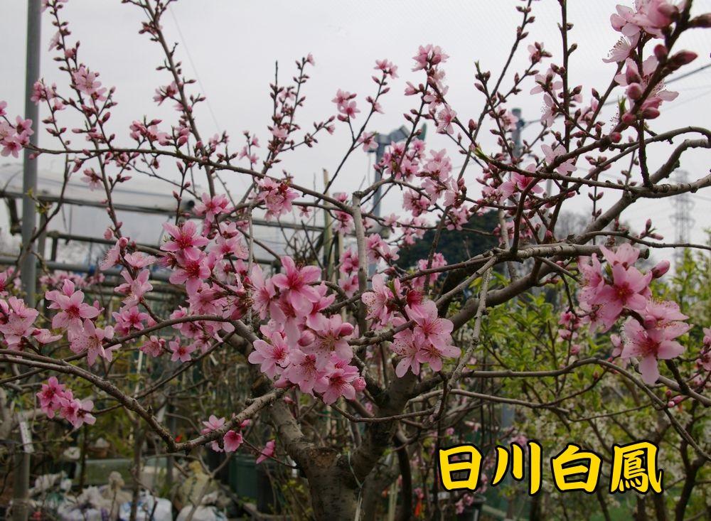 hikawahakuhou0323c1.jpg